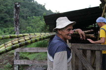 Don Hormidas carrying sugar cane.