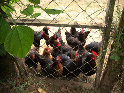 Chickens on base provide fresh eggs on a daily basis
